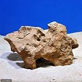 (海水魚)熟成化石サンゴ 一年物 Lサイズ(30cm前後)(1個)(形状お任せ) 本州・四国限定[生体]