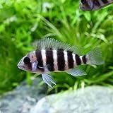 (熱帯魚) キフォティラピア・フロントーサ 7ストライプ Sサイズ(ワイルド)(1匹) 本州・四国限定[生体]