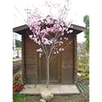【木曜日発送】桜/ヨウコウザクラ 樹高3.0m前後