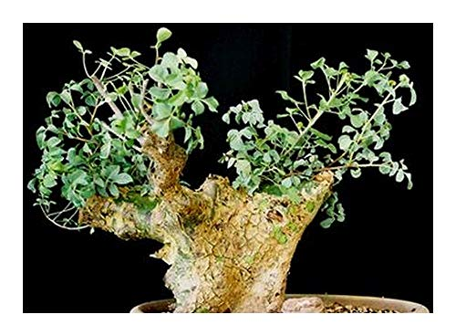 Commiphora campestris - Caudiciform - 1 seeds