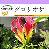 SAFLAX - グロリオサ - 15 個の種。 - Gloriosa rothschildiana