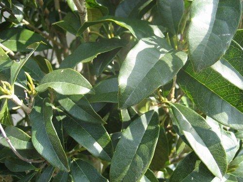 香りのある花♪キンモクセイ樹高1.5m前後 単木 金木犀