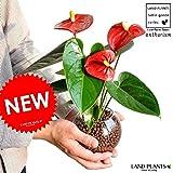 LAND PLANTS 【観葉植物】 ガラス瓶で育てるアンスリューム (花付き) 赤色