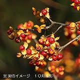 樹木:ツルウメモドキ [つるもどき] 10.5cmポット雌木苗【紫桜館山の花屋】