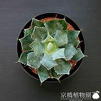 アガベ 吉祥冠(キッショウカン) 鉢サイズ:口径約22cm×高さ約14cm