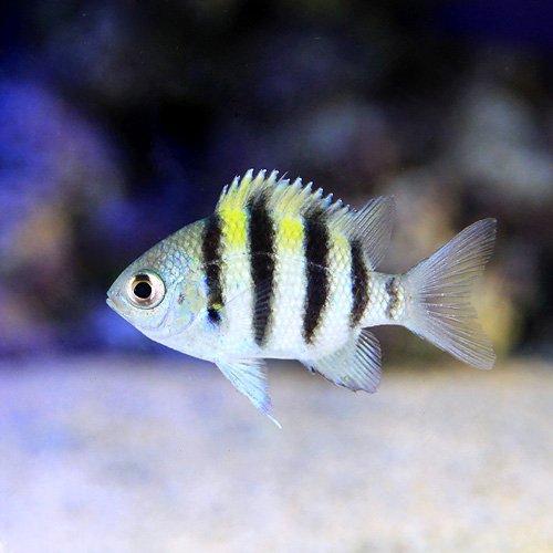 (海水魚)オヤビッチャ(3匹) 本州・四国限定[生体]