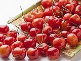 【6か月枯れ保証】【春・夏に収穫する果樹】サクランボ/紅秀峰 15cmポット