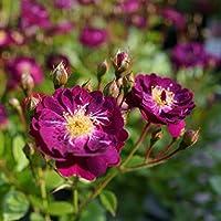 バラ苗 バイオレット 7号スリット大苗 つるバラ 強健 紫色 薔薇 バラ苗木 np