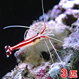 (海水魚 エビ)スカンクシュリンプ Sサイズ(3匹) 本州・四国限定[生体]
