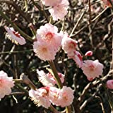 【ノーブランド品】ウメ(梅):はなかみ(花香実)4~5号ポット[桃紅色の八重花、中果・中生種][苗木]