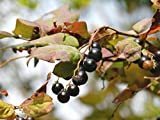 ナツハゼ(夏櫨) 樹高1.0m前後(樹高/根鉢含む)