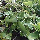 アケビ:五葉(ゴヨウ)アケビ4~5号ポット[アケビの代表的な品種 実は熟すと紫色に][苗木]