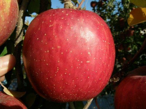 りんご 【幻のふじ】 信州松川町産サンふじ サイズL 5kg箱入(1個315g程度 15〜16個入)