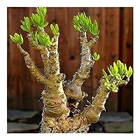 Tylecodon luteoquamata - Caudiciform - bonsai - 10 seeds