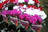 【花苗】【まとめ買い】 ガーデンシクラメン 3号ポット 4色 16個セット 【送料込価格】