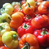 偉大なパプリカパウダーを作るハンガリー家宝。コンパクトな種子は、超甘いと穏やかにスパイシーされている平坦化、わずかリブ付き果物の多作の収量を生産します。果実は完熟で黄色に白、そして最終的には明るい赤から熟します。