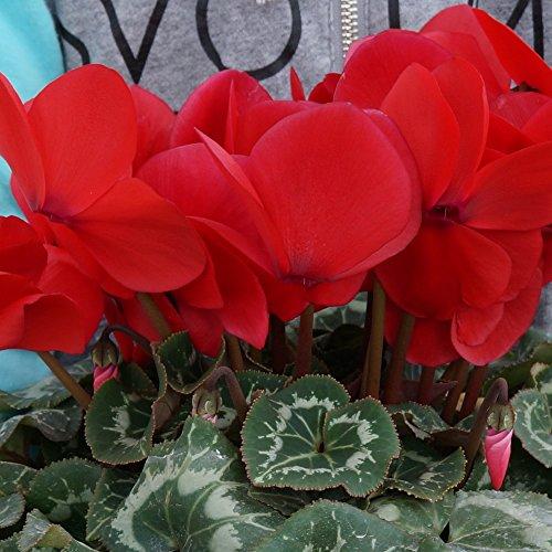 【 朝注文で即日発送 】 さかもと園芸 達人のシクラメン 【 パステルシュトラウス 】 花鉢植え ギフト プレゼント 贈答品 クリスマス お歳暮