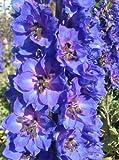 【PLANT】Delphinium Blue Tit デルフィニウム・ブルー・ティット・苗