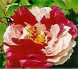 牡丹の種の花輪赤い白い牡丹の苗の花 'Er喬'の種子5種子