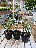 オリーブの木 苗木 3.5号ポット(苗) 3ポットお買い得セット販売 ピンチ物(枝ぶりを良くする処理) 品種違いでのお届け 自分流のガーデニングに仕上げて下さい 植え替え・寄せかご・寄せ植えなどに 大きく育てて下さいネ