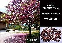20セミ:アルベロ・ディ・ジューダ10/20セミカ - シリス・シルクスクワウム - シーズン前プレゼンテーション・ボンサイ