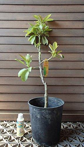 アボカド (品種不明) 接ぎ木 5年生 7寸鉢 《熱帯果樹苗》