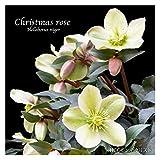 冬咲きクリスマスローズ HGCモンテクリスト 13.5cmポット1苗(2年生苗)