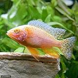 (熱帯魚)アルビノ・ストロベリーピーコックシクリッド(1匹) 本州・四国限定[生体]