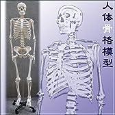 人体骨格模型【ヒューマンスカル】