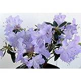 ブルーツツジ:さざなみ3.5~4.5号ポット[薄青紫色の花のつつじ!] ノーブランド品