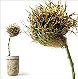 叢 小田康平の多肉植物 画像