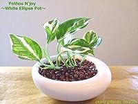 ポトス・エンジョイ / ホワイトイリプスポット / Pothos N'joy / White Ellipse Pot / イテリア観葉植物 / ハイドロカルチャーアレンジ