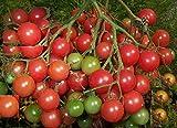 1房に約100個以上の多果性 超甘い 赤豊ミニトマト 4粒 F1品種