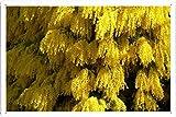 ミモザ開花春ふわふわ美しい37097 の金属看板 ティンサイン ポスター / Tin Sign Metal Poster of Mimosa Flowering Spring Fluffy Beautiful 37097
