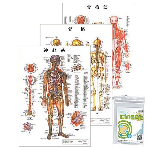人体 解剖学 チャート ポスター 3枚セット(骨格筋・骨格・神経図) + キネシオロジーテープ キネフィットお試し用5cm×50cm