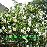 50個/バッグGardenia/Cape Jasmine Jasminiodes白い低木の花の種素晴らしい香りと美しい花