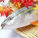 【おさかな問屋 魚奏】 活締めぶり 寒ブリ 鰤 丸ごと1本 約5kg 鹿児島産