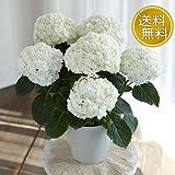 日比谷花壇 母の日 鉢植え アジサイ「プリンセスアン」