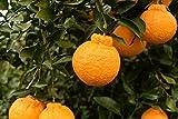 Amazon.co.jp農家だから品質自信あり!! 秀品 とれたて新鮮 高糖度(今年は14度以上) 木熟 デコポン 5キロ 18玉 15玉 和歌山産