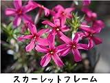 芝桜 ( シバザクラ ) スカーレットフレーム 3号ポット苗 宿根草 苗 多年草 耐寒性 常緑 グランドカバー