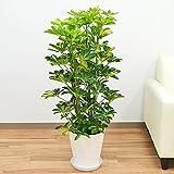 斑入りホンコンカポック セラート鉢植え ホワイト