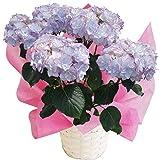 ケイコ ブルー さかもと園芸 達人のあじさい 母の日 あじさい アジサイ 紫陽花 花鉢植え 花 ギフト プレゼント 贈答品