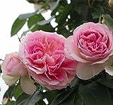 つるバラ:アミ ロマンティカ大苗[四季咲き] ノーブランド品