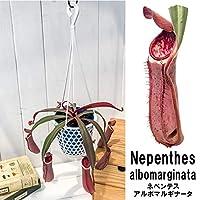 食虫植物 ウツボカズラ ネペンテス アルボマルギナータ 4号吊り鉢 Nepenthes albomarginata 育て方説明書付き