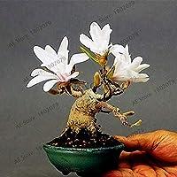 30個/袋モクレンS、家や庭園INGのためのように美しい盆栽モクレン、成長しやすい:2