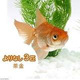 (国産金魚)よりなし(無選別) 茶金(3匹) 本州・四国限定[生体]