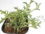 多肉植物 イルカネックレス 約8cmポット付 ドルフィンネックレス
