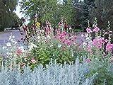 60個の盛り合わせタチアオイ種子(10色)+15盛り合わせエキナセア種子