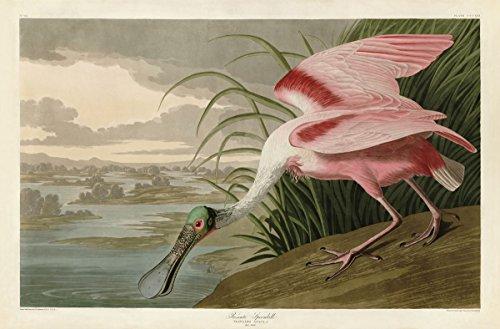 ベニヘラサギbyジョン・ジェームズ・オーデュボン動物鳥水野生動物Natureキャンバス(サイズ選択) 36x54 Unstretched Canvas BM-A40466-8C