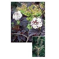 オンリーワン 植栽・美しい葉 テマリシモツケ・ディアボロ WP6-TUTD